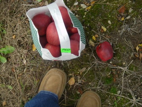 Apple picking. A completion, of sorts.